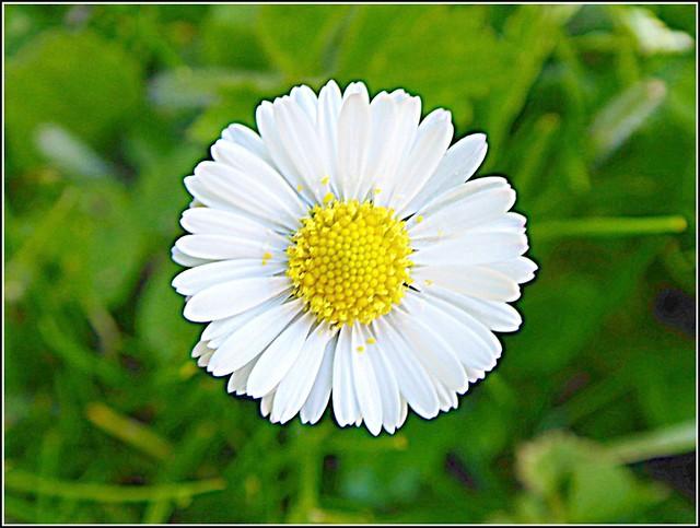 Single Daisy  Flower ..