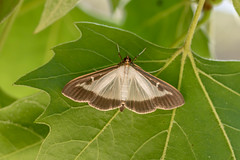 Pyrale du Buis - Box Tree Moth - Cydalima perspectalis