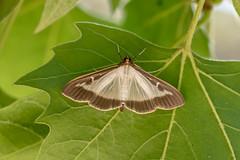 Pyrale du Buis - Box Tree Moth - Cydalima perspectalis