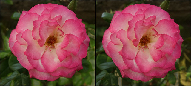 Hybrid Tea Rose (2) - stereo cross-view