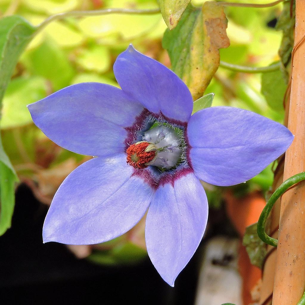 2020-05-27 Codonopsis convolvulacea subsp. grey-wilsonii - BG Teplice