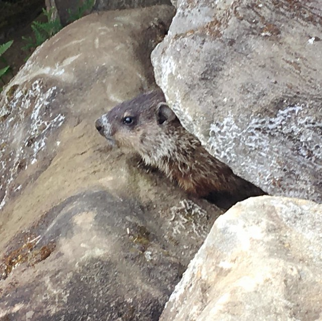 I've seen at least three little baby bastards.   As long as they stay in the rock walls around the flowerbeds...