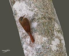 lepidocolaptes souleyetii