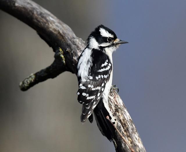 850_7490. Downy Woodpecker