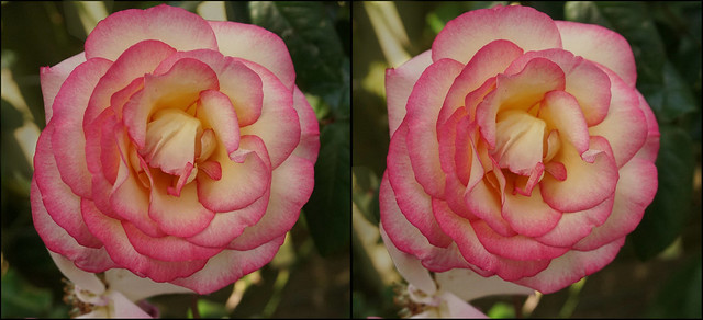 Hybrid Tea Rose (1)- stereo cross-view