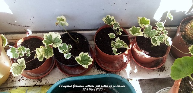 Variegated Geranium cuttings just potted up on balcony 28th May 2020