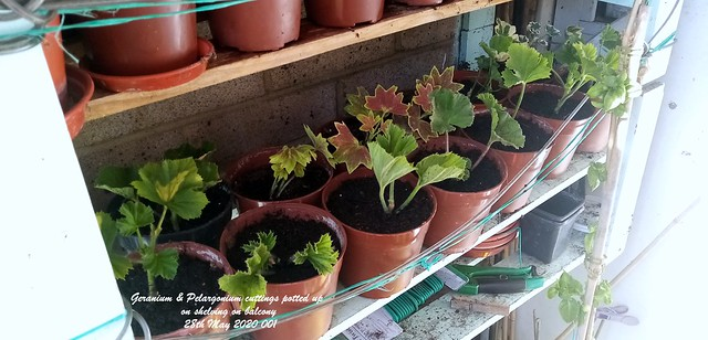 Geranium & Pelargonium cuttings potted up on shelving on balcony 28th May 2020 001