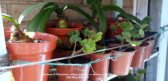 Geranium & Pelargonium cuttings potted up on shelving on balcony 28th May 2020 003