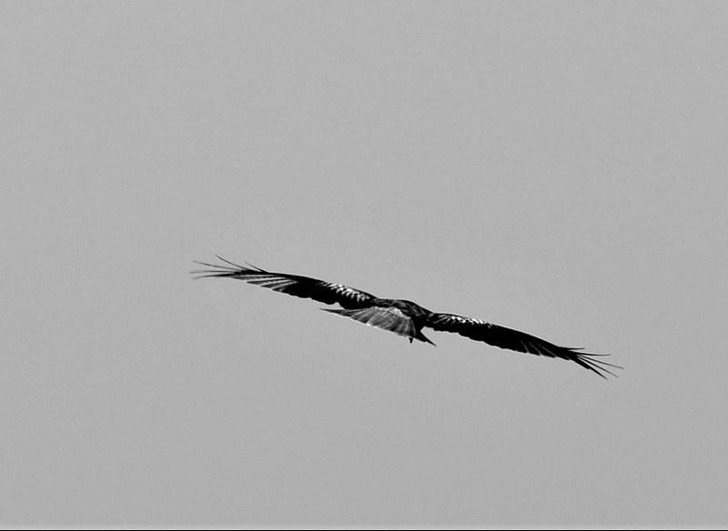 Red Kite 16.03 (4)
