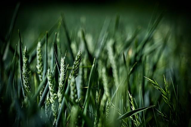 Country lane: wheat