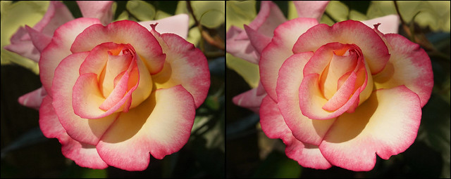 Hybrid Tea Rose (3) - stereo cross-view