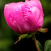 Pink Peony Profile 3-0 F LR 5-24-20 J163
