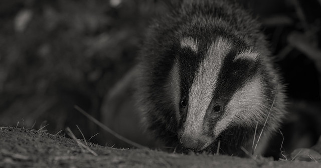 Badger cub one of 4 siblings Explored on 29-05-20