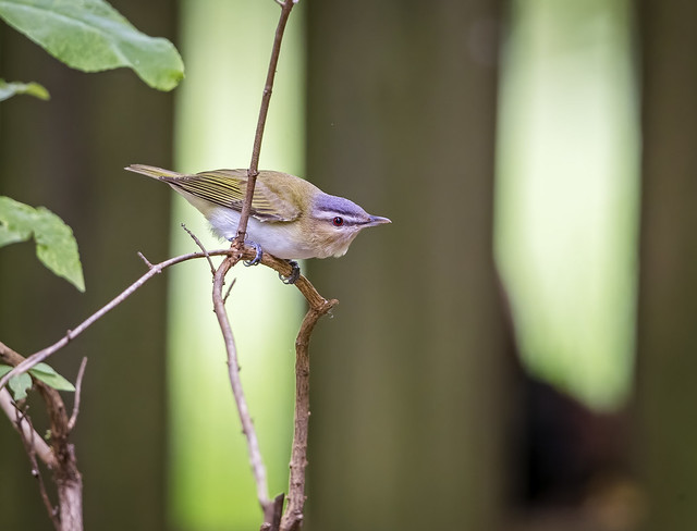 Backyard Bird Vireo...
