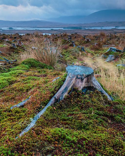 Tree Stubs of Rannoch Moor, Scotland