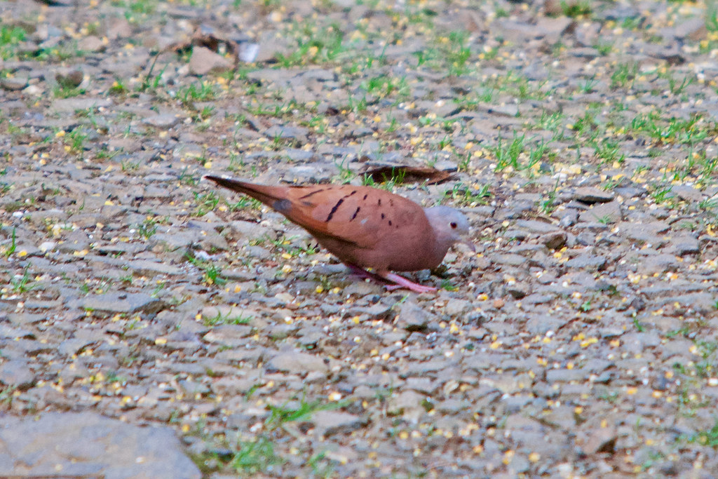 Ruddy ground dove (Columbina talpacoti) near Cali, Colombia.