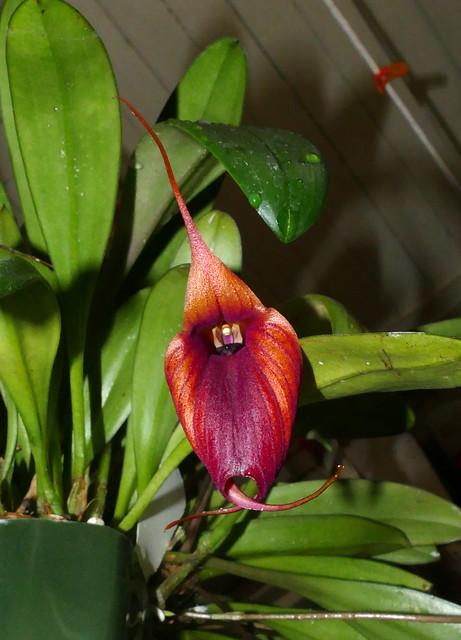 Masdevallia Prince Charming 'Highland'  am-aos primary orchid hybrid