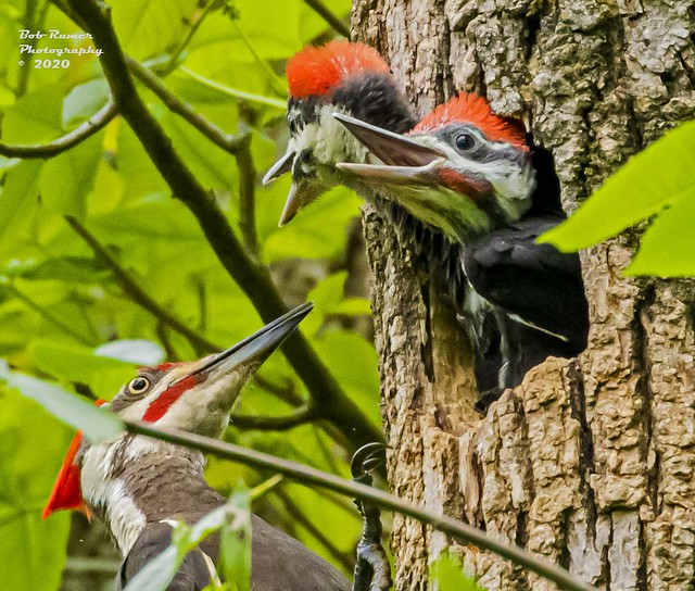 Pileated Woodpeckers!  Dad Feeding Babies!