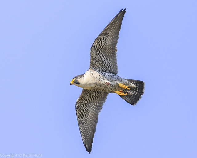 Peregrine Falcon - (Falco peregrinus) Double click  for large