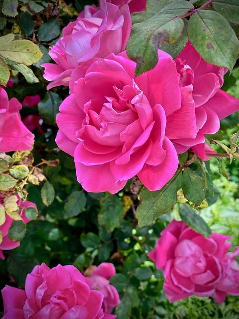 To rose...