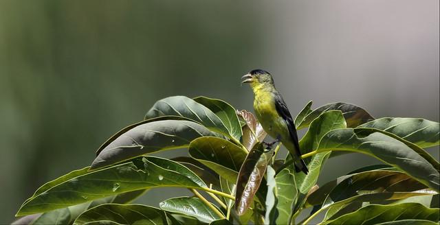 1DX10047 View large. Male Lesser Goldfinch. Backyard Corona, California