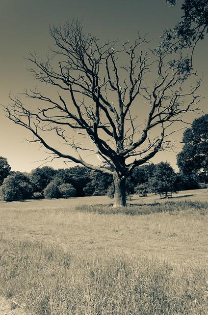 Stricken Tree - Blickling