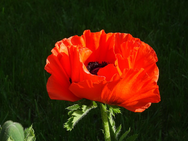 For you! An Oriental Poppy in my son's garden (+1)