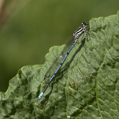 male (?) azure damselfly (Coenagrion puella)
