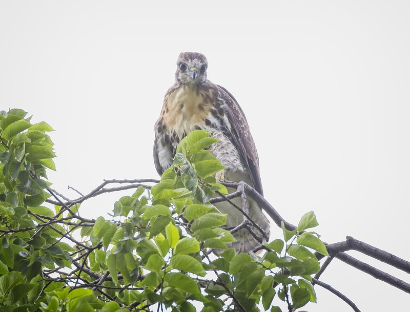 Tompkins Square red-tail chick branching