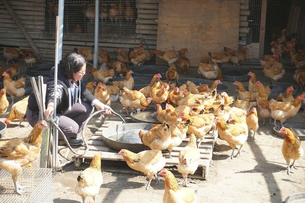 有機畜產品會帶動可觀的有機雜糧需求。以甜心牧場為例,目前飼養4500隻雞,每年需消耗約70噸的有機飼料。(攝影:王章逸)