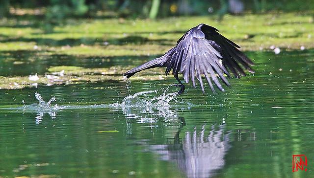 Du jamais vu.....une corneille qui pêche !