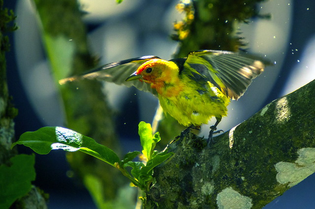 western tanager-7878