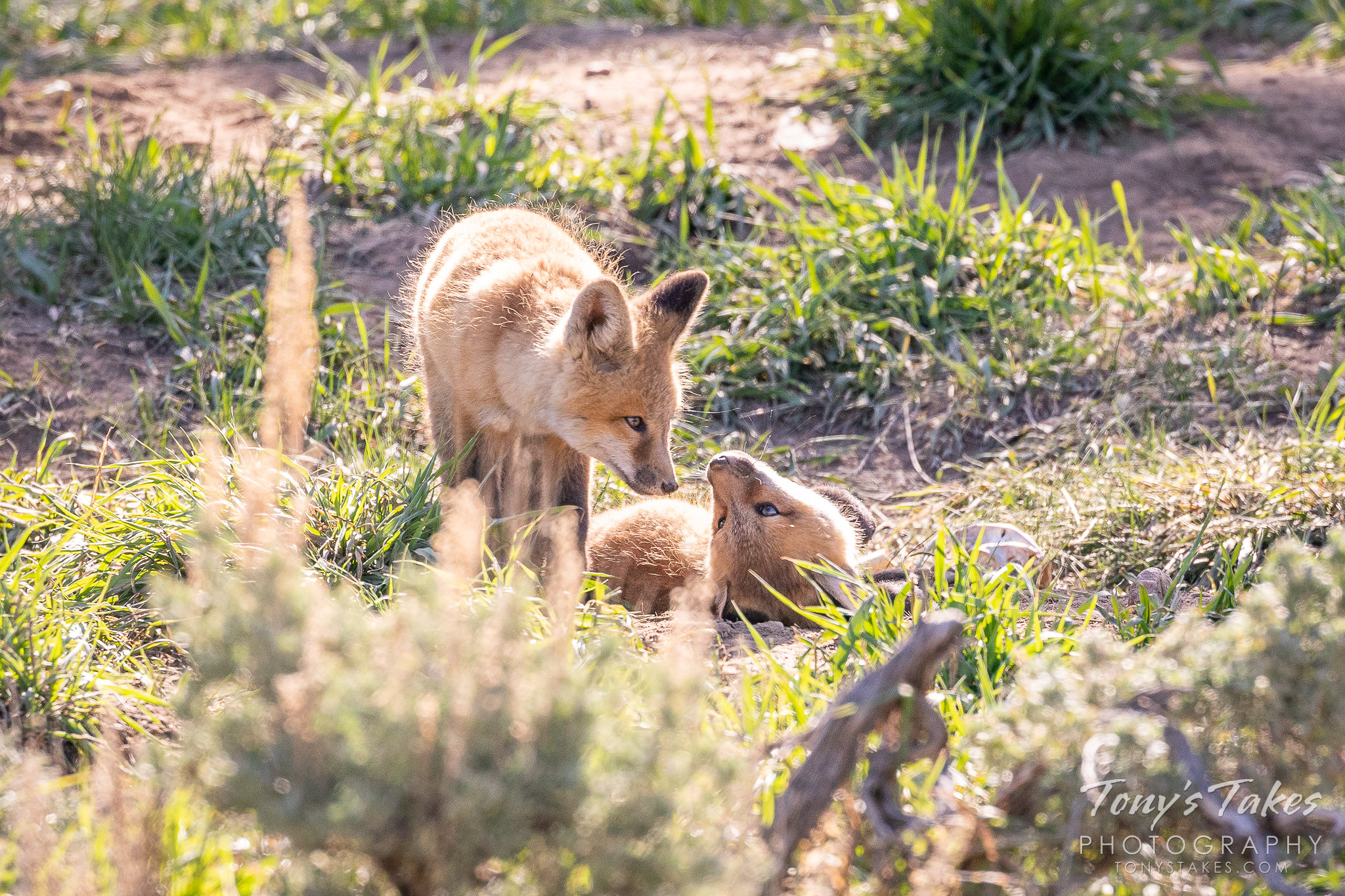 Fox kit siblings enjoying a morning in the Colorado high country