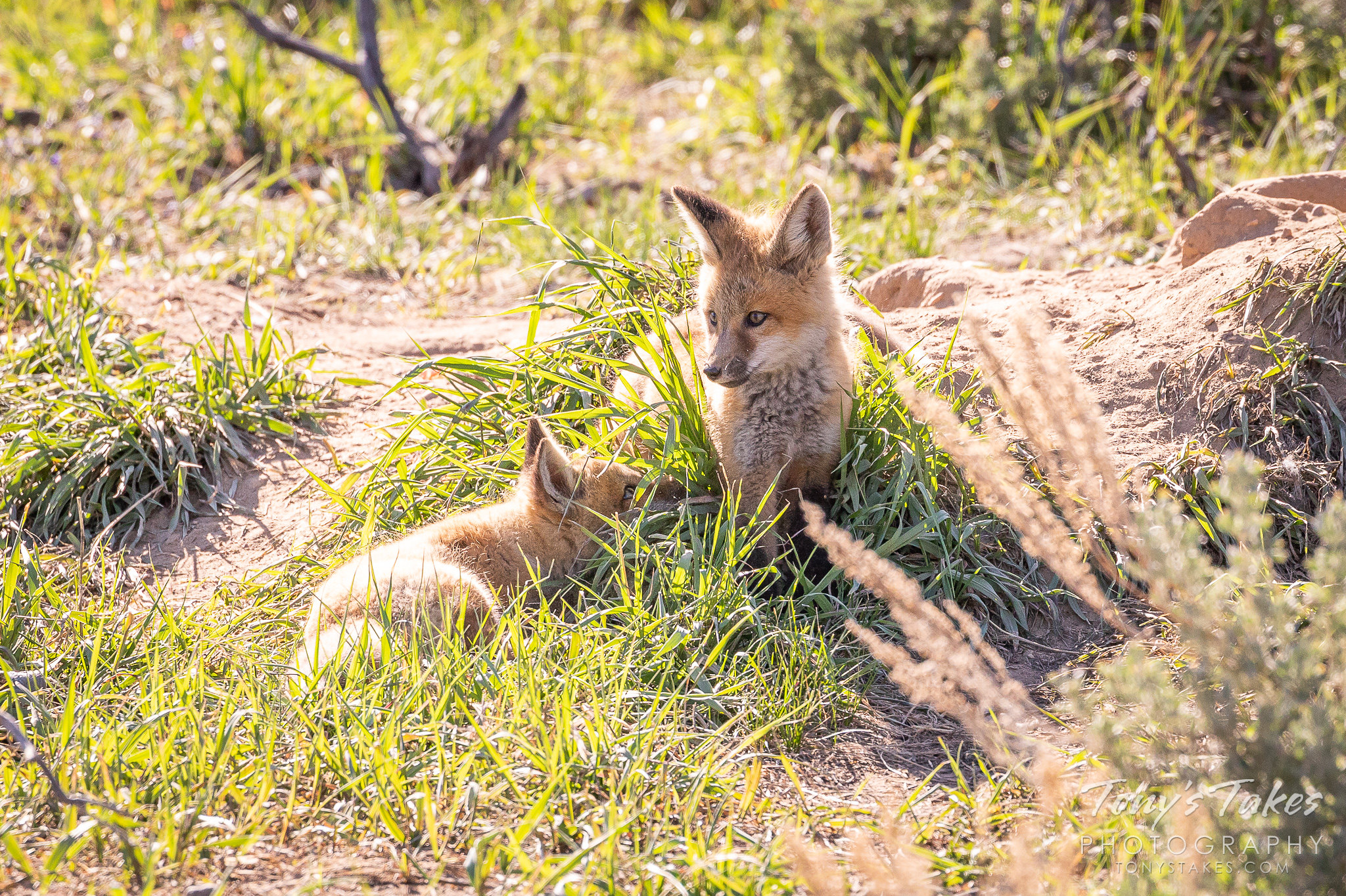 A pair of red fox kits play near their den in Colorado. (© Tony's Takes)