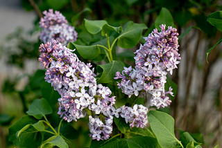 Lilacs | by Stephen Downes