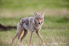 _VM_2703 - Coyote.