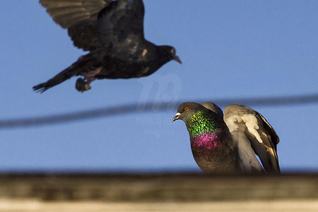 Family | Pombo-Doméstico | Rock Pigeon | Columba livia