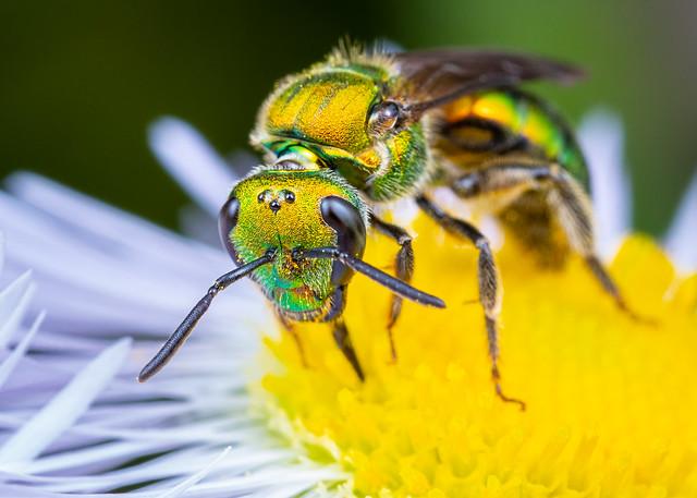 Sweat Bee & Flower