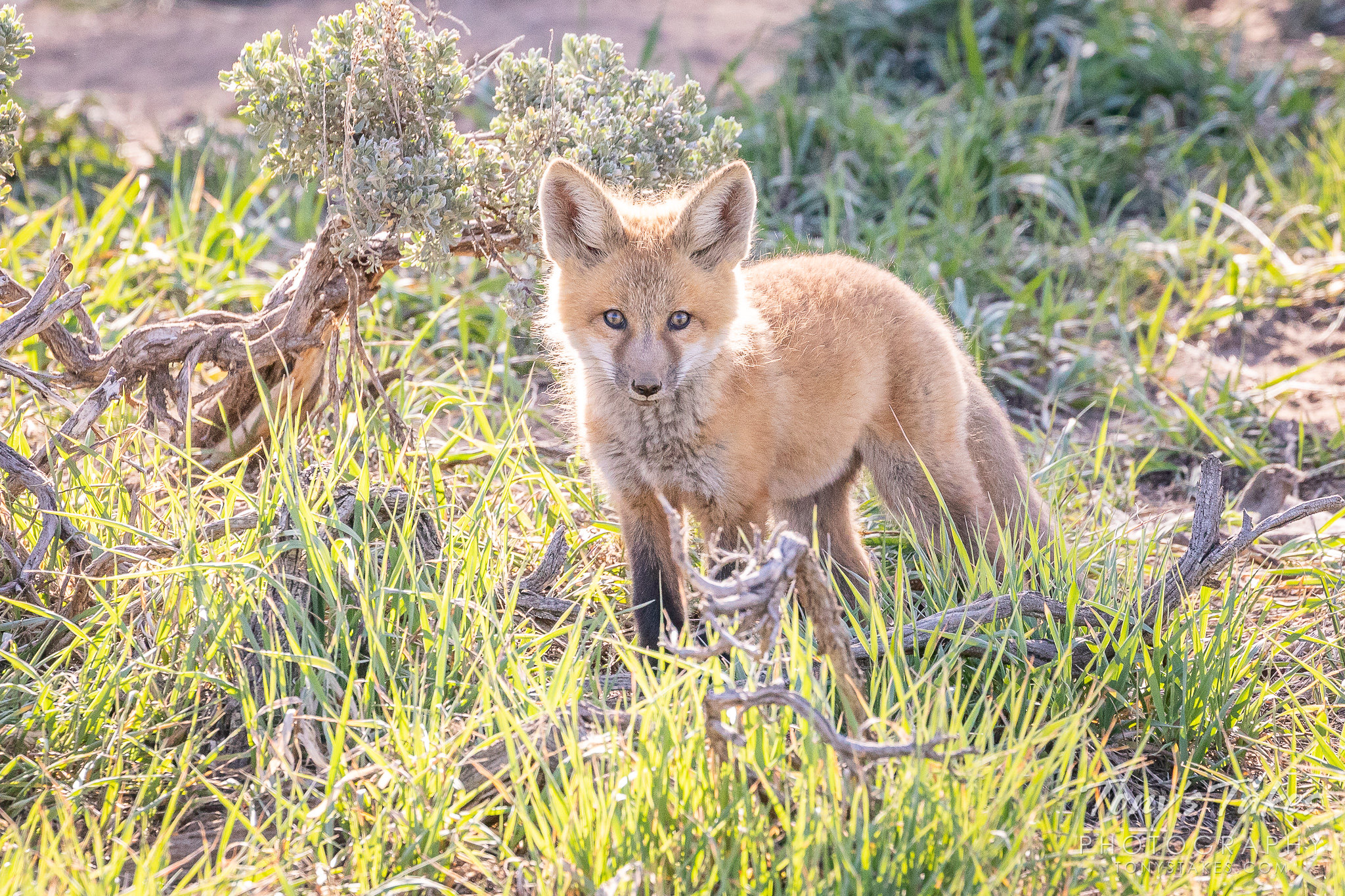 A red fox kit explores its world in the Colorado high country. (© Tony's Takes)