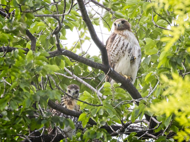 Tompkins Square red-tail chick and mom Amelia