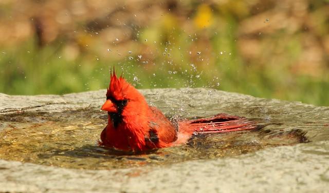 Le baigneur au maillot rouge...Cardinalis, Cardinalis