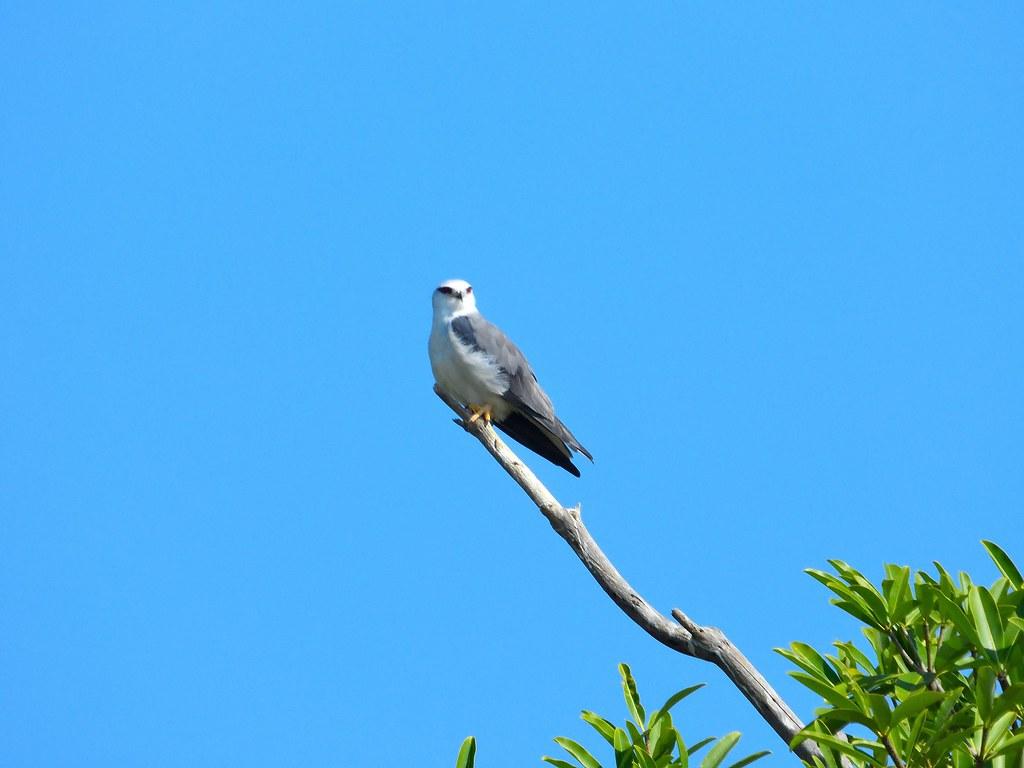 黑翅鳶棲息在港墘農場的平地森林,並且在牧草地和農田覓食,獵捕鼠類。(攝影:吳仁邦)
