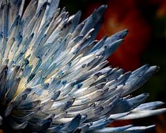 Blue White Spider Mum on Red 0528