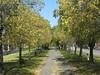 Avenue of Autumnal Elms - Northcote