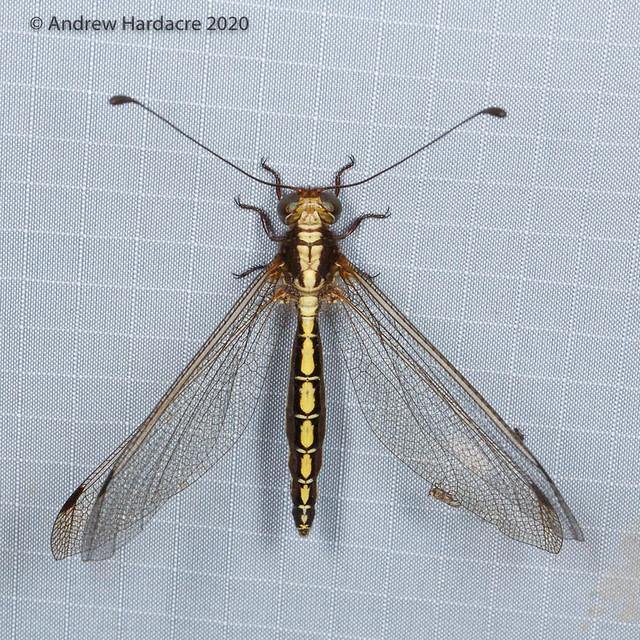 Ascalohybris subjacens - an Owlfly