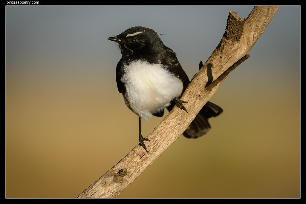 Willie Wagtail: The Portrait Session