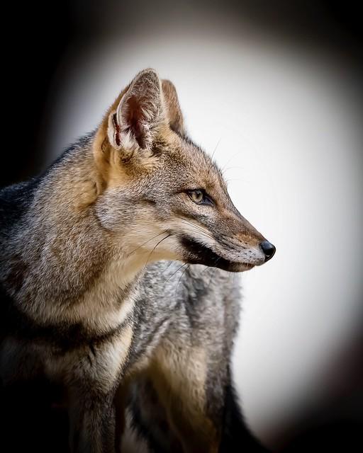 Un hermoso zorro gris!! Argentina