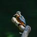 Kingfisher -202005290127.jpg