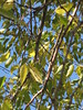 Golden Autumn Elm Leaves - Northcote