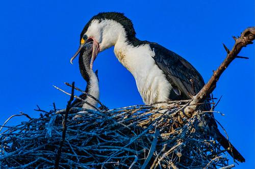 kāruhiruhmaoriforpiedshag estuary duskwalk cormorant shag waimanulagoon sunset newbornchickfeeding nikon d800 fantasticnature